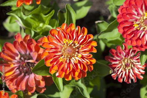 Poster Dahlia Zinnia elegans, known as youth-and-age, common zinnia or elegant zinnia