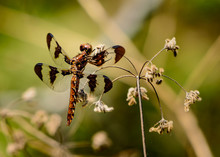 "Female Twelve-spotted Skimmer (Libellula Pulchella) Resting On ""beggar's Lice."""