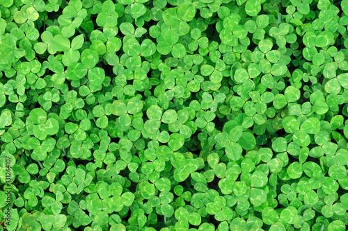 Carta da parati green clover background