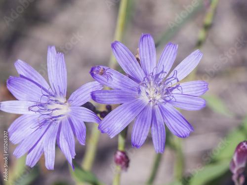 Fototapeta Siberian Lettuce, Lactuca Sibirica, flowers macro, selective focus, shallow DOF obraz na płótnie