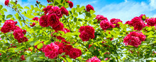 Beautiful Rose Bush Against Bl...