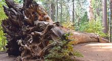 Yosemite National Park, Fallen Sequoia Tree