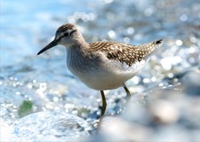Curlew On The Shore Of The Lak...