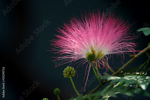 Fototapety, obrazy: Pink powderpuff , Pink crowns of a blossoming acacia blooming on