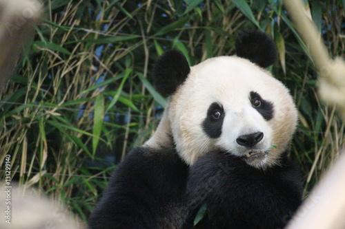 In de dag Panda Panda in Korea