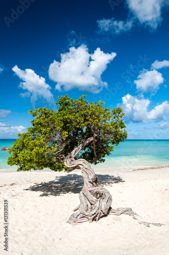Typical fofoti tree at Eagle Beach in Aruba, Netherland Antilles Canvas Print