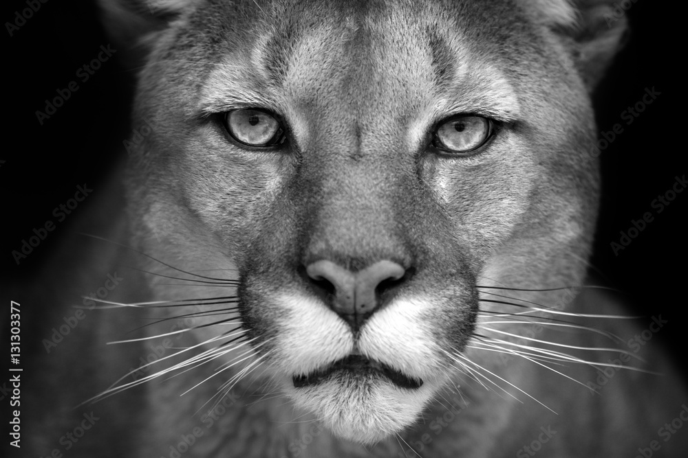 Puma close up portrait isolated on black background. Black and white