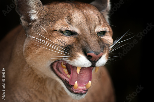 Puma close up portrait with beautiful eyes growls isolated on black background