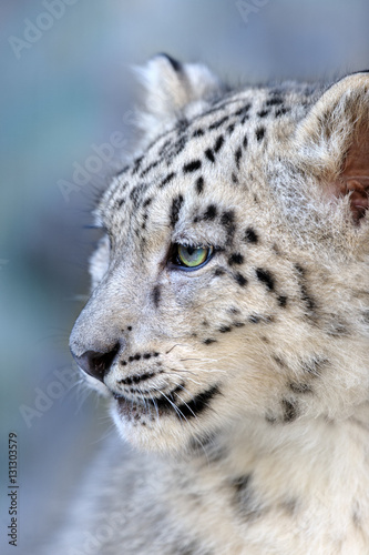 Tuinposter Luipaard Beautiful cute snow leopard baby portrait close up on blue background