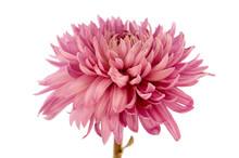 Pink Chrysanthemum Flower On A...