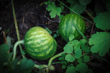 Two Little Watermelons Growing In The Garden