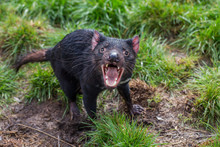Tasmanian Devil, Aggressive With Mouth Wide Open, Showing Teeth And Tongue (Sarcophilus Harrisii)