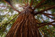 Sequioa Redwood Tree Bark