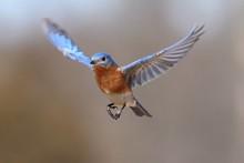 Eastern Bluebird (Sialia Sialis) In Flight
