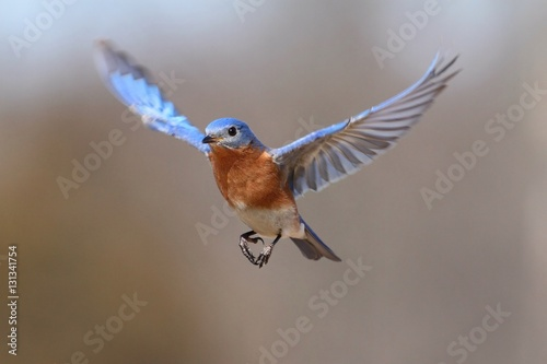 Aufkleber - Eastern Bluebird (Sialia sialis) In Flight