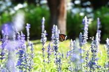 Butterfly In A Field Of Flower Blue Salvia