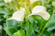 White Anthurium Andreanum Or Flamingo Flower.