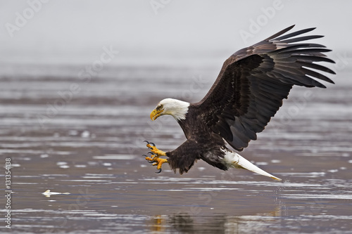 Bald Eagle Fish Grab