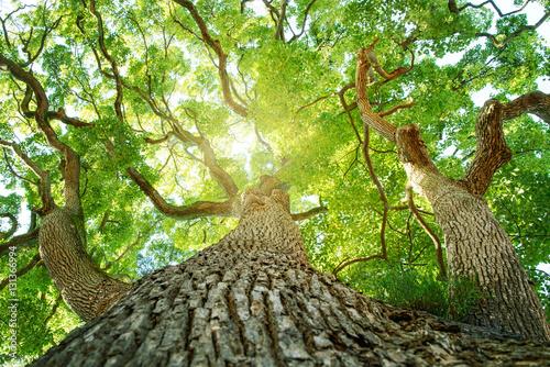 Fotografia 常緑樹、クスノキ、 エコロジーイメージ