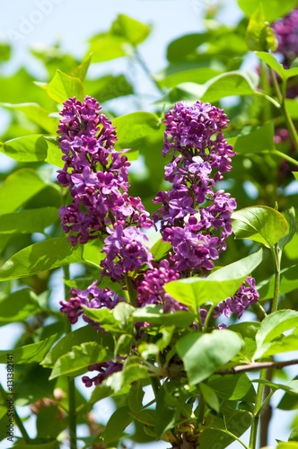 Fotobehang Lilac lilac flowers