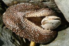 Starfish Opening Clam