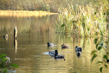 Ducks Swimming In A Golden Pond With Reeds And Brush