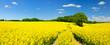 Leinwandbild Motiv Tractor Tracks through Endless Fields of Oilseed rape blossoming under Blue Sky with Clouds
