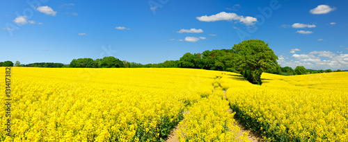 Poster de jardin Jaune Tractor Tracks through Endless Fields of Oilseed rape blossoming under Blue Sky with Clouds