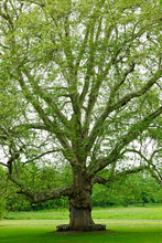 Mighty Platanus Tree In A Park