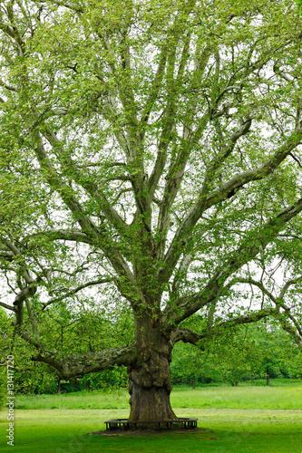 potezny-platanus-drzewo-w-parku