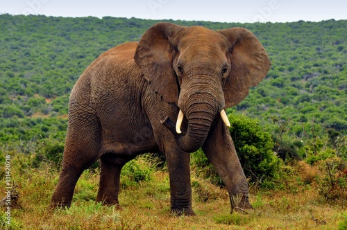 Elephants in the wild, Eastern Cape, South Africa