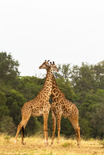 Two Giraffes. War In The Savanna.  Masai Mara, Kenya