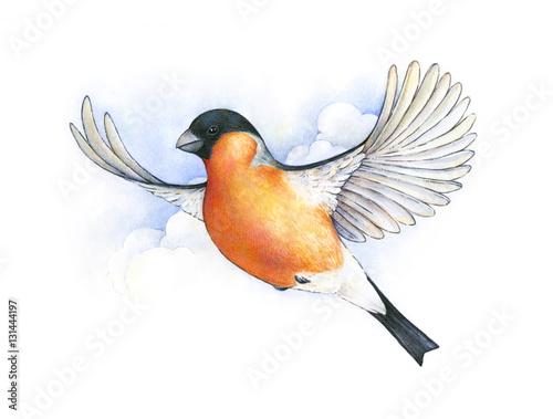 gil-w-locie-latajacy-ptak-rysunek-akwarela