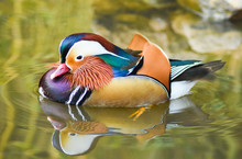 Male Mandarin Duck Swimming With Reflection On Green Water.