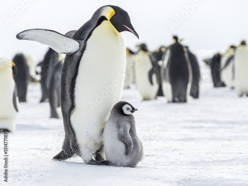 Tuinposter Pinguin Emperor Penguins on the frozen Weddell Sea