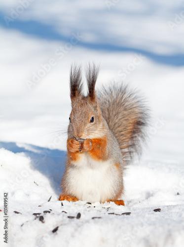 Tuinposter Eekhoorn squirrel in winter