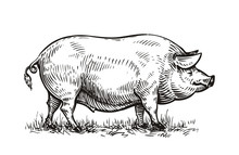 Hand Drawn Pig. Sketch Vector ...