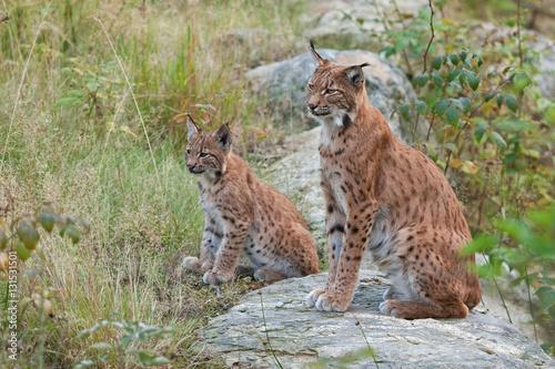 Fotobehang Lynx eurasian lynx , lynx lynx