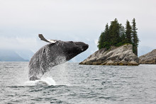 Alaska. Humpback Whale Breachi...