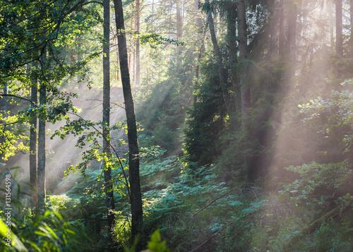Fototapeta Sunrays crossing  misty forest obraz na płótnie
