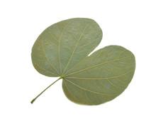 Bauhinia Aureifolia, Dry Leaf On White Background.