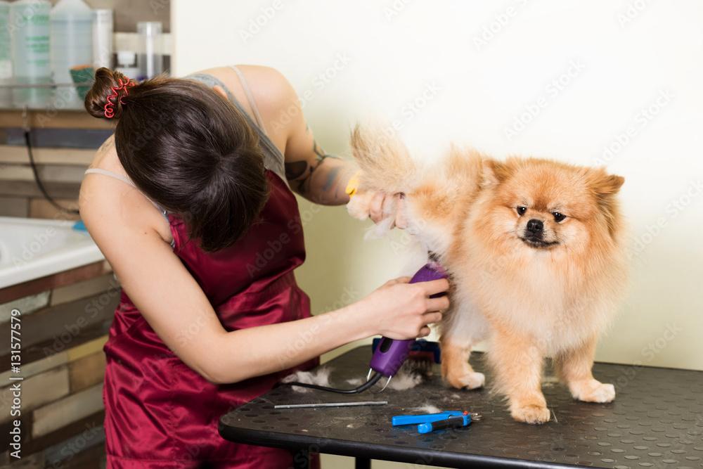 Photo Art Print Groomer Woman Haircut Cute Pomeranian In Hair