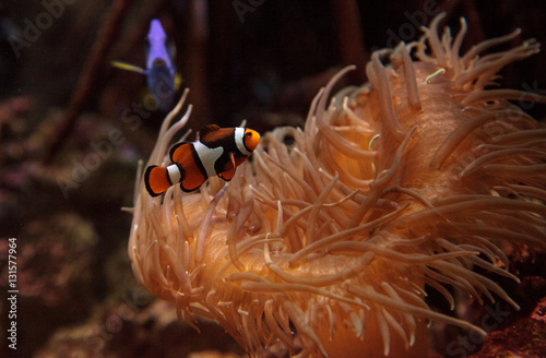 Tuinposter Onder water Clownfish, Amphiprioninae, in a marine fish and reef aquarium, staying close to its host anemone