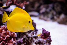 Yellow Tang Fish, Zebrasoma Fl...