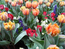 Multi Color Of Blooming Tulips...