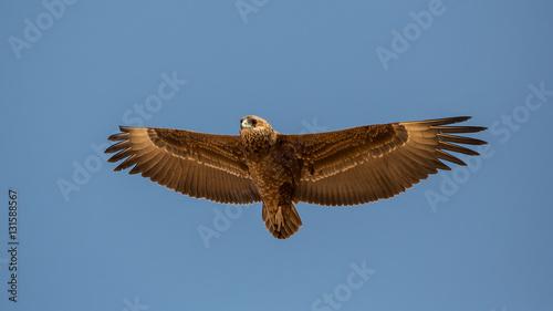 Poster Aigle Tawny Eagle in flight (Aquila Rapax), Etosha National Park, Namibia
