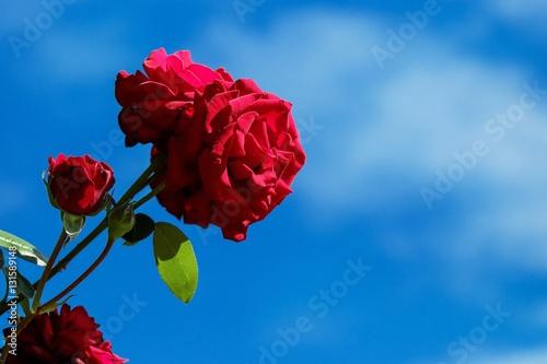 Rose Rouge Amour Bleu Fleur Nature Passion Horticulture Jardinerie