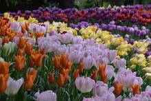 Tulip Garden, Skagit Valley, W...