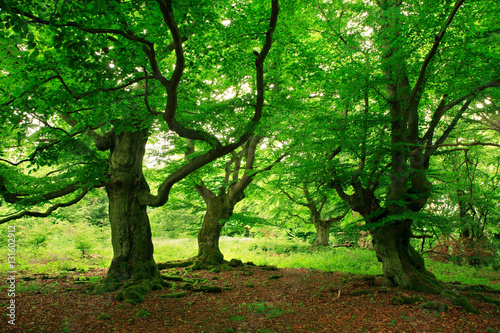 Obraz na plátně  Gnarled Old Beech Trees with Moss Covered Roots in Wild Natural Forest