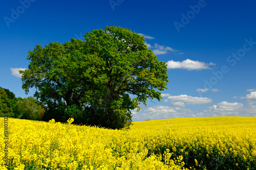 Foto op Aluminium Oranje Field of Oilseed rape blossoming under Blue Sky with Clouds